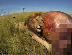 Having a rest: The lion rests against the hippo corpse next to dead animal's entrails...
