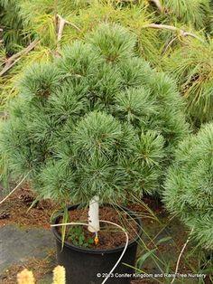Pinus strobus 'Sea Urchin' - Conifer Kingdom