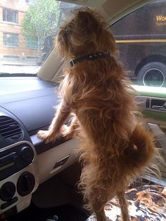 Lamonte –Brussels Griffon, standing look-out