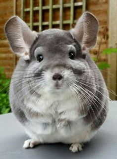 The Chinchilla, an exotic rodent. These creatures are the definition of cuteness overload with their warm, soft and really dense fur (hence a lot of furs are made out of breed chinchillas, unfortunately).