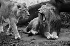 Lions B&W