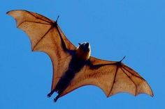 bats | Bats: marvels of engineering reveal their secrets - The Science Show ...
