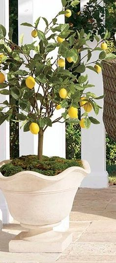 """A cheerful accent for a porch or patio, the 50"""" Outdoor Lemon Potted Tree realistically mimics a lemon tree's varying shades of oblong leaves and vibrant yellow fruit. This lifelike accent, which stands more than 4 feet tall, is handcrafted and UV treated to prevent fading. Bamboo Leaves, Bamboo Tree, White Gravel, Resin Planters, Yellow Fruit, Potted Trees, Backyard, Patio, Early Spring"""