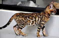 harga kucing bengal,murah,anak untuk dijual,ciri-ciri kucing bengal,kucing bengal marble,asal usul kucing bengal,oren,garang,