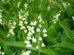 LILY OF THE VALLEY is very toxid, flowers, leaves and stem shoudl not be eaten. Most poisonous flowers (5)_mini
