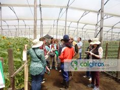 Floricultura, Girasoles, Sabana de Bogotá, Colombia