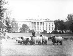 Sheep grazing at the White House - Courtesy of Business Insider