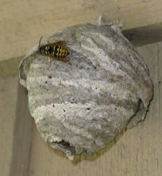 how to get rid of small wasp nest in shed