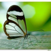 Glasswing Butterfly --hans peters