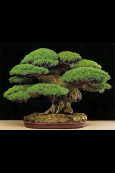 Pine Bonsai                                                                                                                                                                                 More