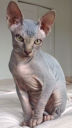 Crazy Cat Lady, Crazy Cats, Animals Beautiful, Cute Animals, Sphinx Cat, Mean Cat, Pusheen Cat, Tier Fotos, Cat Breeds