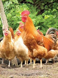 Keeping a rooster with your flock of hens is beneficial but must be done carefully. Here's how to introduce a rooster to your poultry flock. #chickens #farm #eggs #rooster #garden