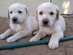 LABRADOR (GOLDEN) Alberton - Labrador puppies (Golden). Inoculated and dewormed. Beautiful condition. 2 x Males. 5 x Females. Will be ready as from 25 November. Will be 8 weeks old.