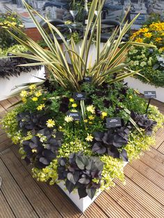 PETUNIA F1 SOPHISTICA BLACKBERRY, OSTEOSPERMUM VOLTAGE YELLOW, IPOMEA BLACK TONE, BACOPA SCOPIA GOLDEN LEAVED WHITE & PHORMIUM GOLDEN RAY