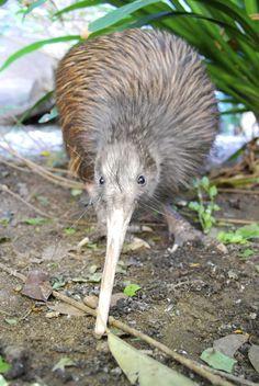 Brown Kiwi (Apteryx australis) - New Zealand (Aotearoa) I Like Birds, Pretty Birds, Beautiful Birds, Animals Beautiful, Animals And Pets, Cute Animals, Kiwi Bird, Ostriches, Flightless Bird