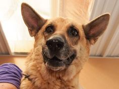 Adopt Nadja, a lovely 6 years Dog available for adoption at Petango.com.  Nadja is a German Shepherd and is available at the National Mill Dog Rescue in Colorado Springs, Co.  www.milldogrescue.org #adoptdontshop  #puppymilldog   #rescue  #adoptyourfriendtoday