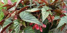 How To Grow Different Varieties of Begonias | Today's Homeowner