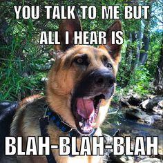 20 German Shepherd Memes for Any Dog Lover - American Kennel Club