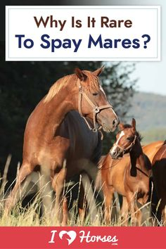 We all are familiar with the spaying and neutering of cats and dogs. But what about horses? In this article, we discuss why it's so rare to spay mares, as well as reasons spaying a mare might be necessary. | #ihearthorses #mares #horses #horsehealth