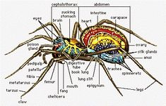 Spider silk - properties, uses, and production - including terminology and a… Hobo Spider, Pet Spider, Spider Legs, Carapace, Spider Silk, Daddy Long, Animal Facts, Mundo Animal, Field Guide