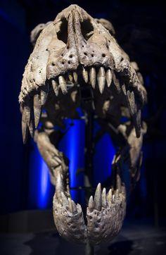 rex skeleton arrives in Glasgow - BBC News Real Dinosaur, Dinosaur Skeleton, Salzburg, Tyrannosaurus Rex Skeleton, Cooper Car, Interactive Exhibition, World Images, European Tour, History Museum