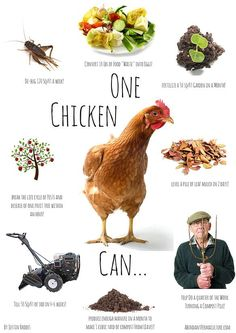 Abundant Permaculture - Raising Chickens Naturally!   Before You Get Started With Chickens - The Permaculture Blueprints