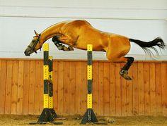 Free jumping Akhal-Teke #horses