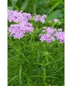 Botanical name: Phlox pilosa Common names: Prairie phlox, downy phlox Origin: Native to eastern North America from Saskatchewan south to Tex...