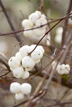 'Pop' berries