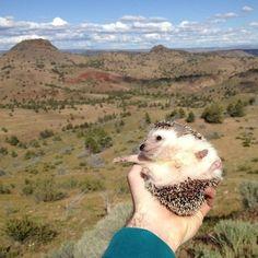 The Fantastic Adventures Of Biddy The Hedgehog http://avaxnews.me/funny/the_fantastic_adventures_of_biddy_the_hedgehog.html