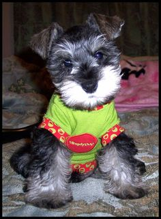 Mini Schnauzer..... This puppy is just so darling, love the little face❤