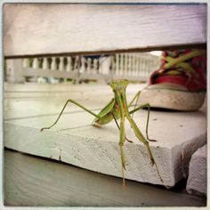 praying mantis iphone4s photography iphoneography