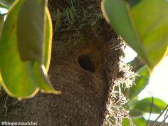 Ninho de Pica-pau-de-cabeça-amarela (Celeus flavescens) registrado no Pq. Ibirapuera em São Paulo/SP em Dezembro/13.