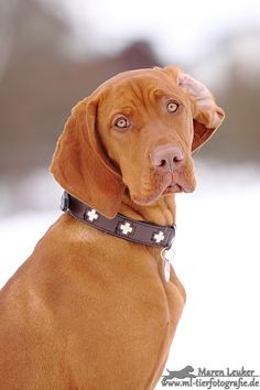 .Hungarian Vizsla Puppy Dog #Puppies #Dogs
