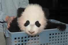 We can't wait to see the new baby Panda at the National Zoo, starting Jan 18th!