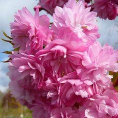 Prunus 'Cheels Weeping'