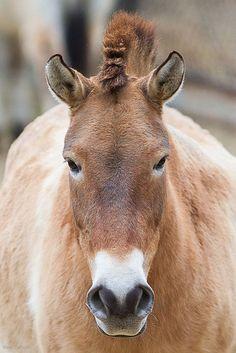 The Przewalski's Horse Cute Horses, Pretty Horses, Beautiful Horses, Rare Horse Breeds, Rare Breeds, Interesting Animals, Majestic Horse, Wild Mustangs, Mundo Animal