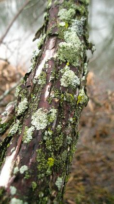 moss and lichen on tree