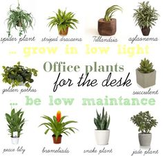 10 Low light & low maintenance plants for office desk - Desk - Plants Indoor Office Plants, Best Office Plants, Indoor Plants, Plants For Office Desk, Best Desk Plants, Indoor Gardening, Hanging Plants, Air Plants, Potted Plants