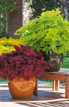 'Redhead' creates a 2-foot mound of velvety, scalloped leaves.  'Wasabi' forms an equally large mound of serrated, lime-green foliage.  'Wasabi' and 'Redhead' coleus will be included in the Home Depot's VIVA! collection this spring.