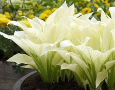 Hosta 'White Feather' - An amazing new development - large pure white lush leaves emerge in late spring/early summer. Throughout the summer green streaks develop on the foliage creating an unusual yet beautiful effect. Lavender flowers in summer are just an additional bonus. The height and spread of this Hosta is 50cm. Three in a patio container planted 20cm apart will look perfect. In 2/3 years split the crowns and distribute surplus plants to other locations.