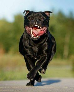 Uplifting So You Want A American Pit Bull Terrier Ideas. Fabulous So You Want A American Pit Bull Terrier Ideas. Staff Bull Terrier, Pitbull Terrier, Bull Terriers, Presa Mayo, English Staffordshire Bull Terrier, Pitbulls, Rottweilers, Corso Dog, Nanny Dog