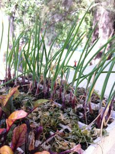 Las plantas de nuestro nuevo germinador han crecido mucho