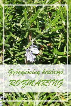 A Rozmaring népies neve:  Antósfű, rozmarin, szagos rozmaring  Hogyan gyűjtsük a Rozmaring gyógynövényt?  A növény leveleit és felső, virágos hajtását hasznosítják.  A Rozmaring hatóanyagai:  A növény illóolajat (cineolt, kámfort), keserű-(diterpéneket) és cseranyagokat, flavonoidokat, triterpénsavakat, tartalmaz. Medicinal Plants, Beautiful Gardens, Smoothie Recipes, Herbalism, Spices, Medicine, Herbs, Healthy Recipes, Therapy
