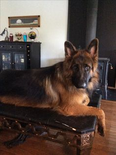 My handsome boy. Pullo, 18 months old. Black and red, long coat German Shepherd.