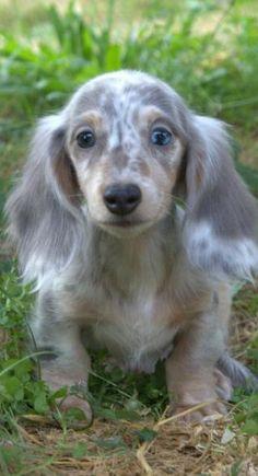 longhair blue/tan dapple dachshund puppie