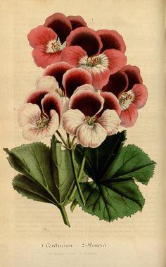 v.4 (1848) - Flore des serres et des jardins de l'Europe - Biodiversity Heritage Library