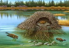 Beaver Lodge Cutaway animals, beavers -- I love cutaway pictures, and while it was actually the ones of houses and buildings I was seeking, this one came up in my search. I thought it was rather cute, so I decided to pin it to share with others. Beaver Lodge, Beaver Dam, North American Beaver, Le Castor, Busy Beaver, Owl Clip Art, Animal Habitats, Wildlife Art, Animal Kingdom