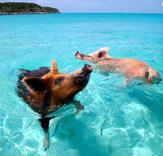Er bestaat een onbewoond eiland waar alleen wilde varkens zwemmen en spelen