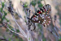 Harlequin butterfly, zerynthia rumina